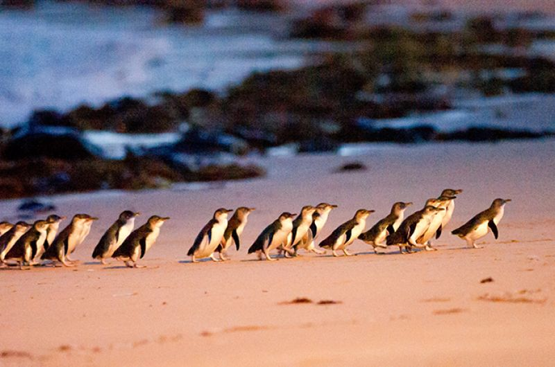 Penguin Parade at Phillip Island